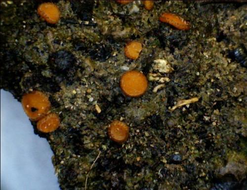 Anthracobia_melanoma_microscopio