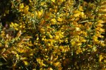 ulex_parviflorus_flores