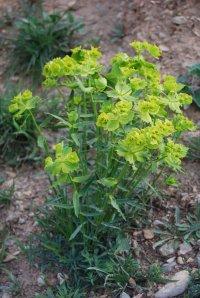 Euphorbia_serrata_1