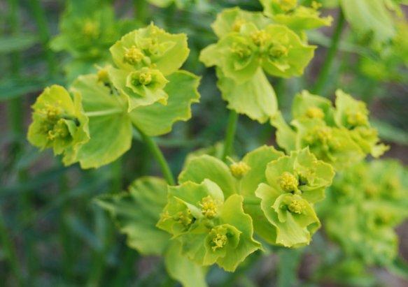 Euphorbia_serrata_2