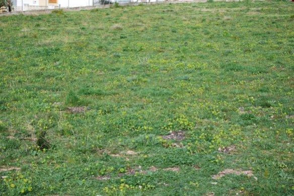 Euphorbia_serrata_3