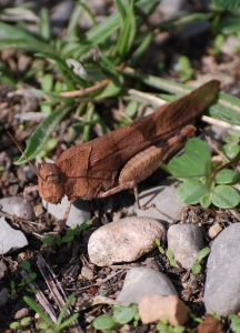 oedipoda_caerulescens_0