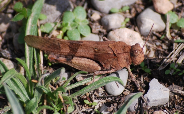 oedipoda_caerulescens_1