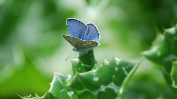 polyommatus_escheri_1