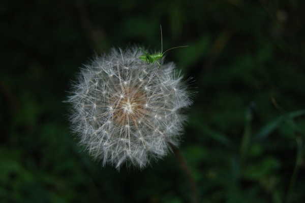 Tettigonia_viridissima_3