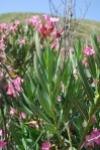 nerium_oleander_1