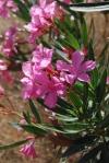 nerium_oleander_2